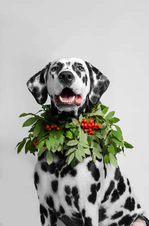 Dalmatian Dog in red and green necklace made of tree branches rowan autumn portrait Stock Photo