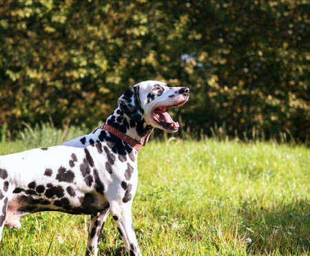 he laughs: Dalmatian dog in nature basking in the sun Stock Photo