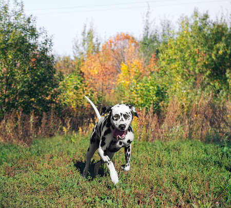 he laughs: Dog Dalmatian sports very quickly upfield Outdoors Stock Photo
