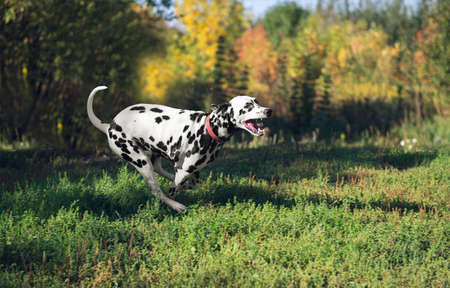 he laughs: Dalmatian dog running back and laughs on nature Stock Photo