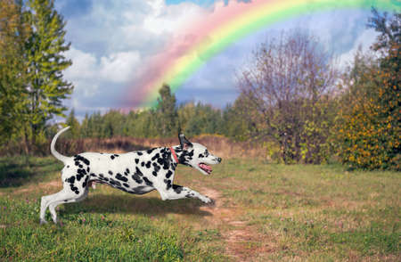 Dog Dalmatian running outdoors in beautiful green against the blue sky with clouds and a rainbow Stock Photo