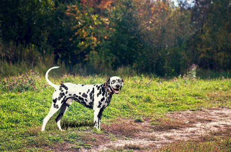 he laughs: Dog Dalmatian black and white dog standing by the road in the woods and laughing happy