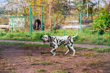 Dalmatian dog walking on the playground before training on the nature and laughs happy