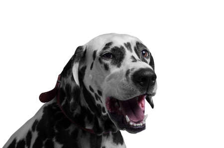 he laughs: Portrait of a happy and laughing dog breed Dalmatian