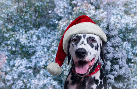 he laughs: New Year Dog Dalmatian in Winter Hat next to a Christmas tree as a Santa Claus - Your text or image