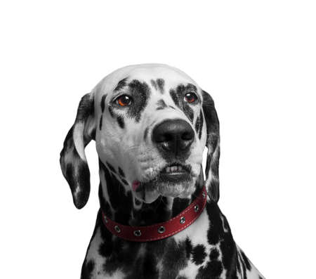 spotted dog: Portrait of a black and white spotted dalmatian dog breed in the red collar - isolated on white
