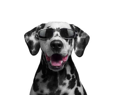 gafas de sol: Retrato de un perro de raza dálmata manchado blanco y negro en el collar rojo sonriendo y riendo en gafas de sol oscuras transparentes - aislado en blanco foto Foto de archivo