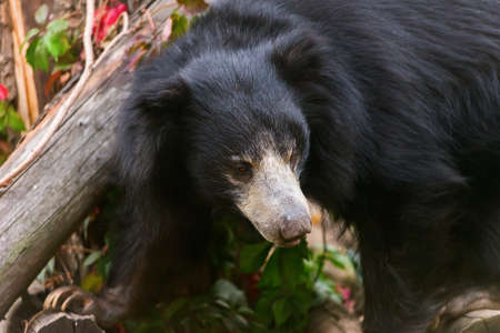 large sloth bear animal nature photo zoo