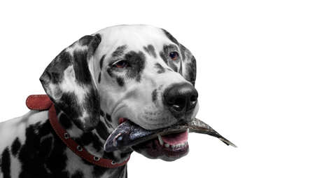Dalmatian dog holding a fish in his mouth isolate closeup. Photo in studio. Portrait of a hunter prey.