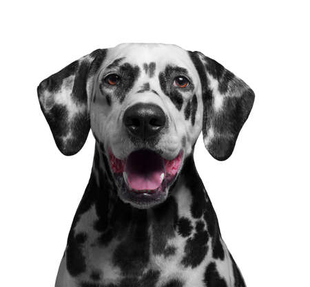 tans: Portrait of a black and white spotted dalmatian dog breed in the red collar smiling and laughing in transparent dark sunglasses - isolated on white photo