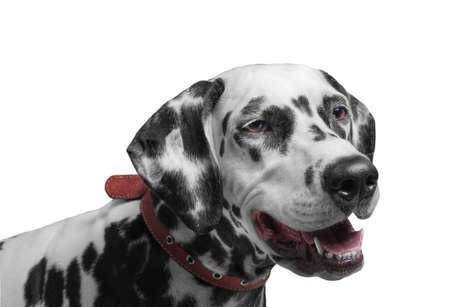 spotted dog: Portrait of a black and white spotted dalmatian dog breed in the red collar smiling and laughing isolated on white Stock Photo