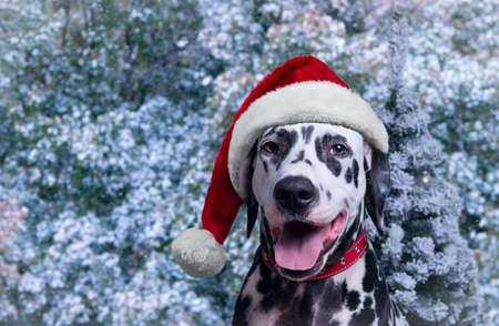 dog Dalmatian in Winter Hat christmas photo