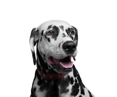 he laughs: Portrait of a happy and laughing dog breed Dalmatian - isolated on white