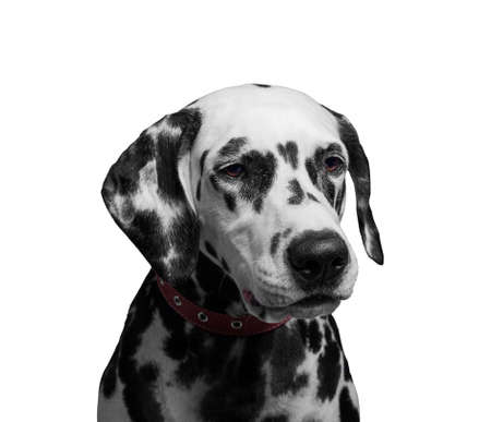 he laughs: Portrait of a black and white spotted dalmatian dog breed in the red collar - isolated on white