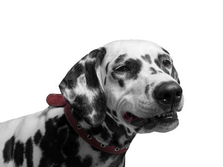 he laughs: Portrait of a black and white spotted dalmatian dog breed in the red collar smiling and laughing lips stretching - isolated on white