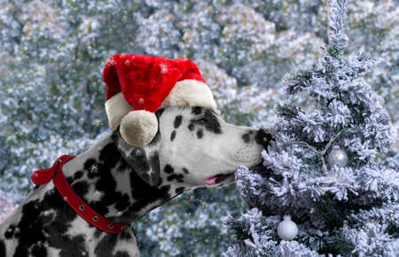sniffing: Black and white spotted dog breed Dalmatian in a Santa Claus hat curious sniffing a Christmas tree with toys covered with snow balls Stock Photo