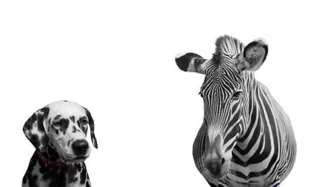 zebra: Zebra and dalmatian dog - Isolated on white
