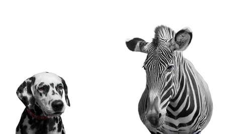 zebra: Zebra y dálmata perro - aislada en blanco
