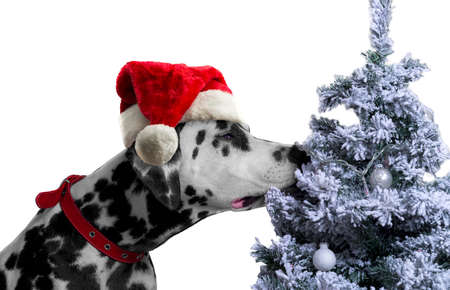 spotted dog: Black and white spotted dog breed Dalmatian in a Santa Claus hat curious sniffing a Christmas tree with toys covered with snow balls Stock Photo