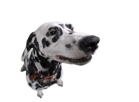 spotted dog: Dog fisheye view from above picture smiling while looking to the side. Spotted Dalmatian look up isolate photo.