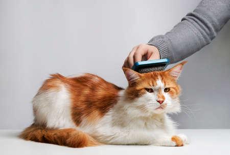 koty: Troska Maine Coon, czesanie włosów pędzla dla zwierząt. Ręka mężczyzny.