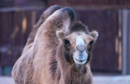 animal photo: Portrait of a two-humped camel smiling animal photo Stock Photo