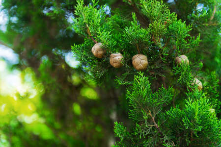 Cypress trees, green branches with cones foto