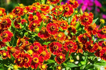 Yellow-orange, red Gaillardia aristata flowers, green field, sunflower, blanket flower and common Gaillardia