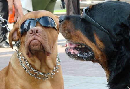 Couple of dog muzzles with sunglasses