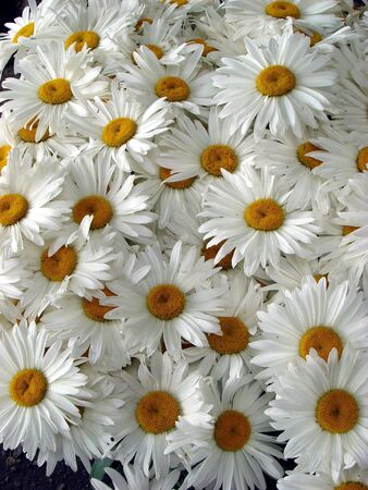A lot of big white daisy wheels bouquet