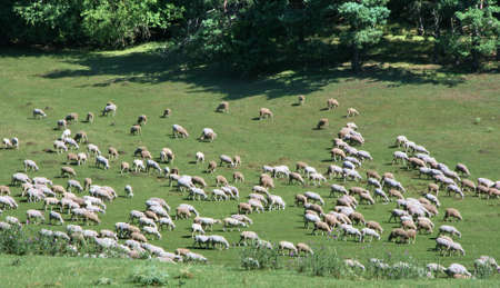 Herd of sheeps on green meadow Stock Photo - 3388409