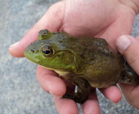 anura: Hombre que sostiene el Gran Bullfrog Foto de archivo