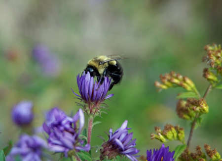 bombus: Bumble Bee Wildflower Background - Bumblebee gathering pollen from purple wildflowers, background photo.