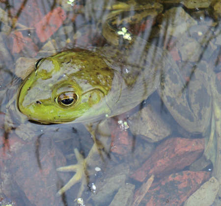 bullfrog: Large American Bullfrog Swimming In A Creek - Close up Rana catesbeiana swim in clear water from a small pond stock photo.