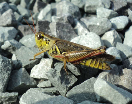 differential: Grasshopper Face Eyes Close Up  - Melanoplus differential grasshopper, spur-throat Stock Photo