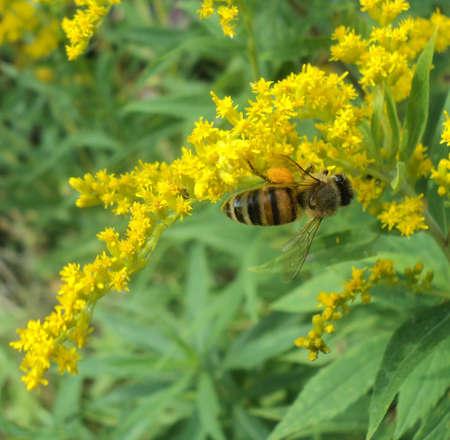 gathers: Honey Bee Yellow Flowers - Close up honey bee gathers pollen from yellow wildflowers.