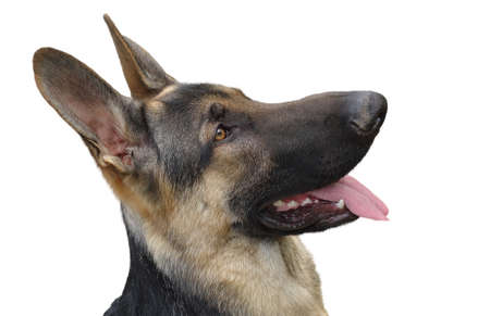 tongue out: Beautiful German shepherd dog head shot, with tongue out isolated on a white background.