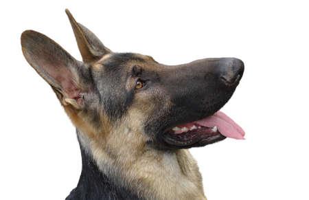 lengua afuera: Tiro hermoso alemán cabeza de perro pastor, con la lengua fuera aislado en un fondo blanco. Foto de archivo