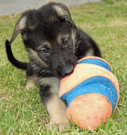 Small puppy playing with a big ball on the grass outdoors, cute dog photo.