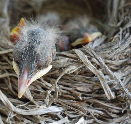 robin bird: Adorable baby American robin bird sleeping peacefully with his head resting on a straw bird nest, close-up peaceful wildlife photo taken in Canada, Ontario.