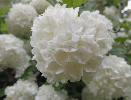 Fluffy soft white Viburnum Opulus snowball flowers blooming on a spring day, nature background photo. Stock Photo