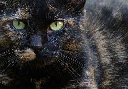 calico whiskers: Close up cat eyes of a black calico kitty with orange patches and a split face pattern, pet animal background photo. Stock Photo