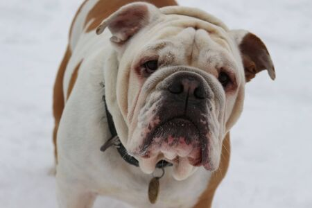 Portrait close up of an english Bulldog in winter on snow Foto de archivo