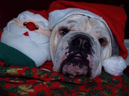English bulldog in holidays christmas