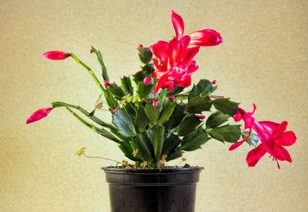 christmas cactus: Red Christmas Cactus Plant