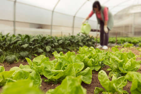 Young woman watering green salad in greenhouse in springtime