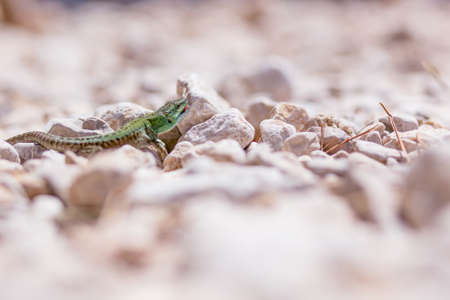 sitting on the ground: portrait of green lizard on rocks and stones