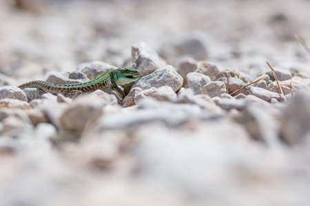 portrait of green lizard on rocks and stones. Stock Photo