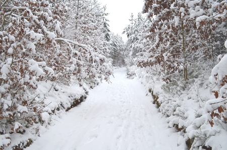 Conifer forest under snow cover with road Stock Photo