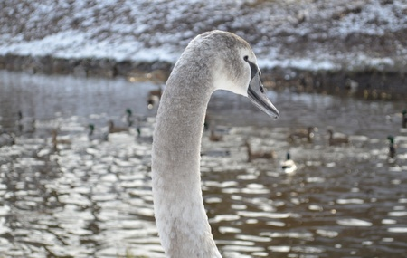 Gray Swan at the river shore during the winter, with ducks in the background
